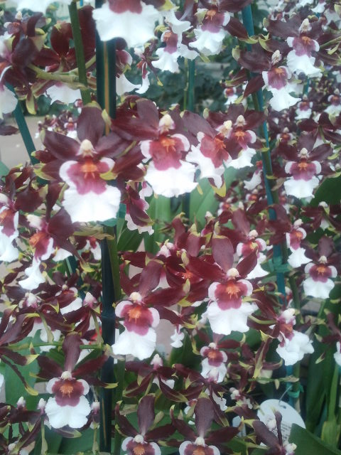 "Onc. Sharry Baby ""Sweet Fragrance"""