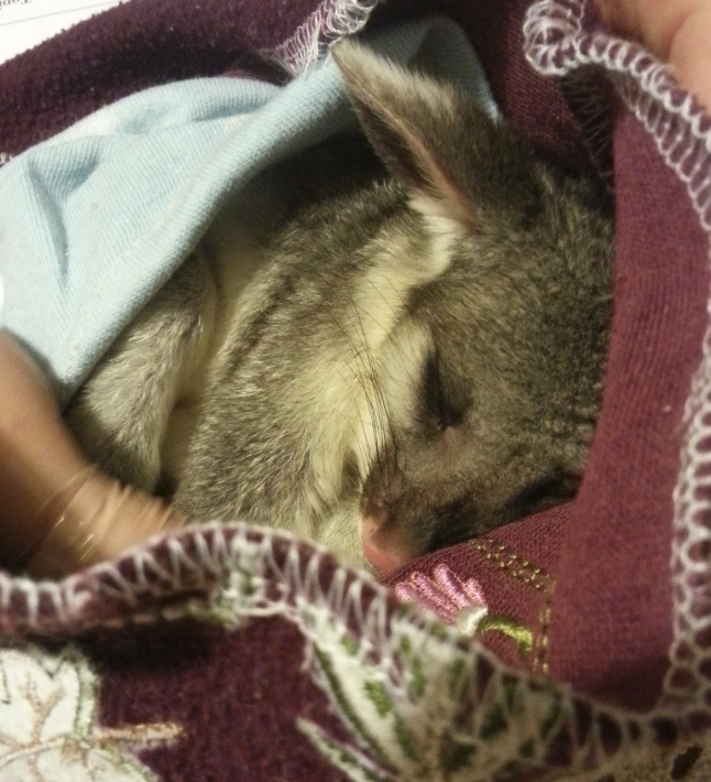 Foster possum in Canberra