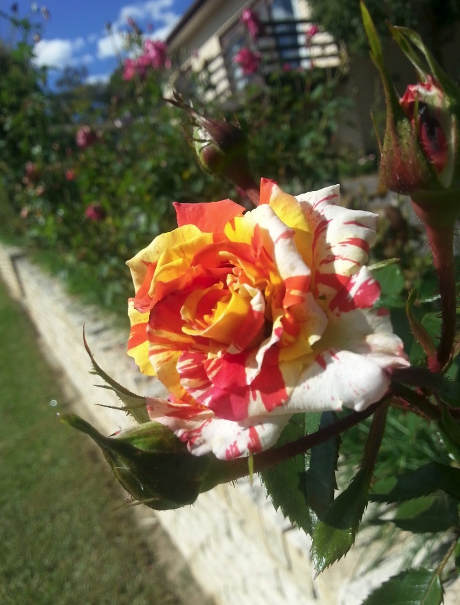 Free range rose in Canberra