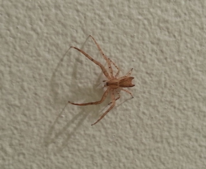 Mystery brown spider