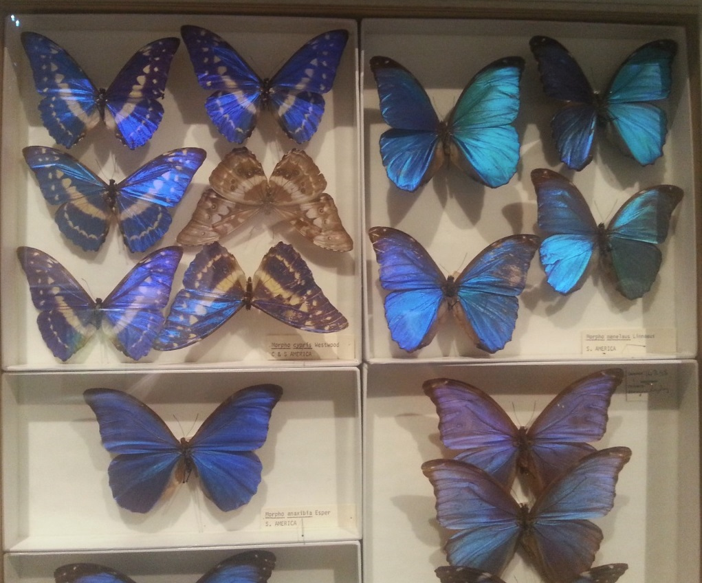 Butterflies at Iridescence, South Australian Museum